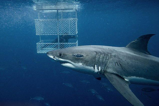 海底世界大鲨鱼野生动物大白鲨